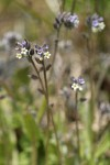 Yellow and Blue Forget-me-nots
