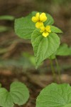 Smooth Yellow Violet blossoms & foliage