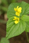Smooth Yellow Violet blossoms & foliage detail