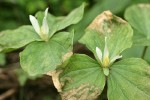 Small-flowered Trillium blossoms & damaged foliage