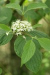 Red-osier Dogwood blossoms & foliage