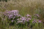 Sticky Phlox among grasses