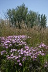 Sticky Phlox among grasses w/ Big Sagebrush soft bkgnd