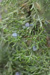 Western Juniper foliage & fruit