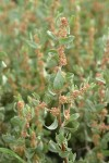 Shadscale (Spiny Saltbush) male blossoms & foliage detail