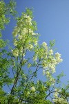 Two Petaled Ash against blue sky