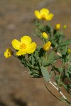 Bush Poppy blossoms & foliage