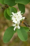 Western Serviceberry blossoms & foliage
