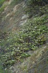 Coville Ceanothus (white blossoms) on steep slope