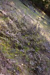 Coville Ceanothus on steep slope