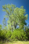 Red Willow at base of Fremont Cottonwoods