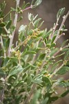 Fourwing Saltbush male blossoms & foliage