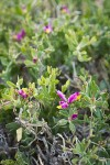 Spiny Milkwort blossoms & foliage