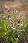Spiny Milkwort blossoms & foliage detail