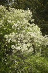 Coast Whitethorn