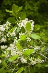 Coast Whitethorn blossoms & foliage