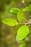 Coast Whitethorn foliage detail