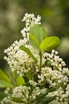 Coast Whitethorn blossoms & foliage detail