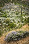 Chaparral Whitethorn w/ Yerba Santa, Deer Brush on hillside ~10 years after fire
