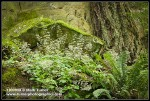 Small-flowered Alumroot, Sword Fern at base of sandstone cliff & Douglas-fir trunk