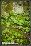 Starflowers among moss at base of sandstone cliff