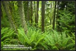 Sword Ferns at base of Red Alders & Douglas-firs