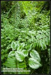 Invasive Yellow Archangel foliage at base of Sword Fern