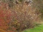 Snowberry thicket, early winter