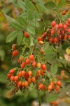 Clustered Wild Rose hips among foliage