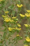 Low Gumweed