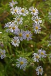 Western Aster blossoms