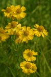 Western Sneezeweed blossoms