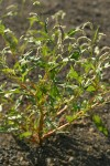 Willow Smartweed