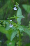Water Speedwell blossoms & foliage