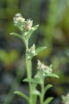 Marsh Cudweed blossoms & foliage detail