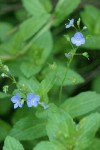American Speedwell blossoms & foliage detail