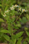 Rough-leaved Aster