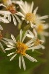 Rough-leaved Aster blossoms detail