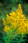 Canada Goldenrod flower clusters detail