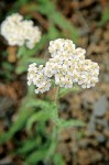 Common Yarrow blossoms