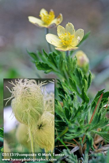 Pulsatilla occidentalis (Anemone occidentalis)
