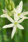 Great Camas (white form) blossom detail