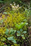 Rusty-haired Saxifrage