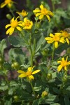 Dwarf Mountain Butterweed blossoms & foliage