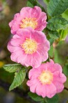 Clustered Wild Rose blossoms