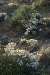 Showy Phlox w/ Big Sagebrush, backlit late afternoon