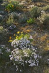 Showy Phlox w/ Arrowleaf Balsamroot, backlit late afternoon