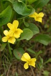Yellow Prairie Violet