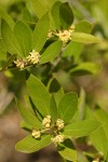 California Laurel (Oregon Myrtle) blossoms & foliage
