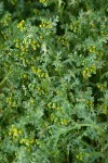 Common Butterweed